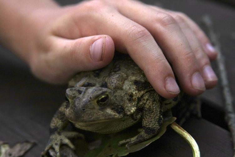 dangerous food_Bullfrog