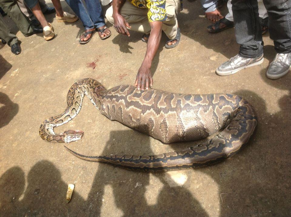 huge swallen snake was pregnant_1