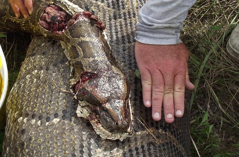 huge swallen snake was pregnant_2