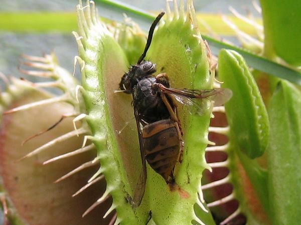 predatory plants_3