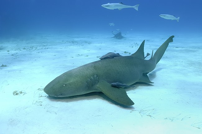 nurse shark attack_5