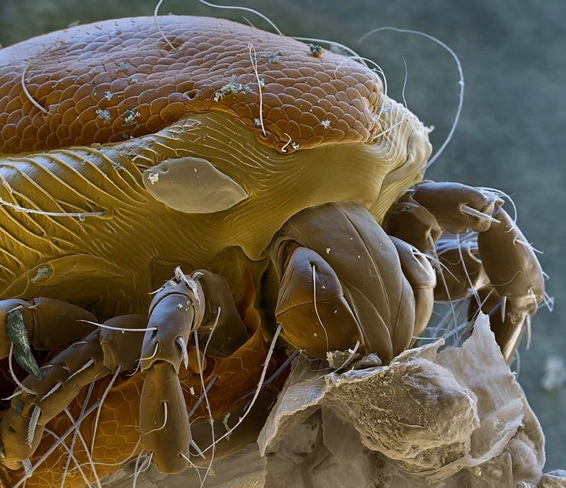 creatures of alien origin_Water Mite